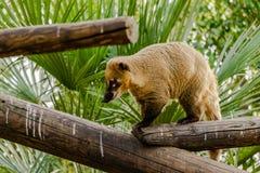 Südamerikanisches Tier Coati Nasua Nasua wild lebender Tiere in einem Zoo Lizenzfreie Stockbilder