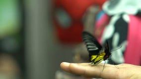 Südasien-Insekt, exotisches Schmetterling Troides-radamanthus, das auf menschlicher Hand sitzt stock footage