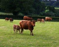 Süddevon-Vieh Stockbild