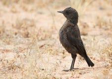 Südlich Anteater-plaudern Sie Stockfoto