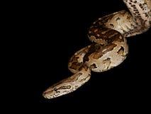 Südliche afrikanische Pythonschlange lizenzfreie stockfotos