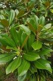 Südliche Magnolie Stockfoto