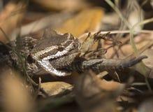 Südliche pazifische Klapperschlange, die Eidechse isst Lizenzfreies Stockfoto