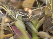 Südliche pazifische Klapperschlange, die Eidechse isst Stockfotografie