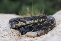 Südliche pazifische Klapperschlange schlägt seine Zunge Stockfotos