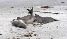Südliche Seelefanten (Mirounga leonina) Lizenzfreie Stockfotografie
