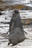 Südliche Seelefanten (Mirounga leonina) Stockbild