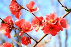 Südliche spanische rote Blumen gegen den blauen Frühlingshimmel Stockbilder
