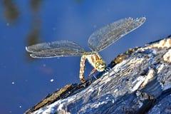 Südliche Strassenverkäufer-Libelle Stockfoto