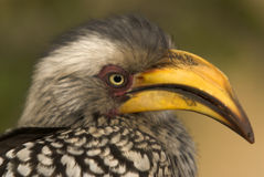 Südlicher Gelb-berechneter Hornbill Stockfotos