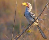 Südlicher Gelb-berechneter Hornbill Lizenzfreie Stockfotografie