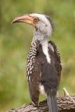 Südlicher Gelb-berechneter Hornbill Stockbilder