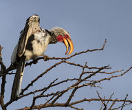 Südlicher Gelb-berechneter Hornbill lizenzfreie stockbilder