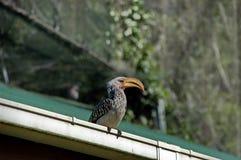 Südlicher Gelb-berechneter Hornbill, Südafrika Stockfotos