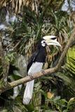 Südlicher GeschecktHornbill oder asiatischer Gescheckt-Hornbill, Anthracoceros-albirostris stockbilder