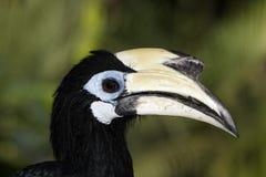 Südlicher GeschecktHornbill oder asiatischer Gescheckt-Hornbill, Anthracoceros-albirostris stockfoto