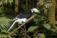 Südlicher GeschecktHornbill oder asiatischer Gescheckt-Hornbill, Anthracoceros-albirostris stockbild