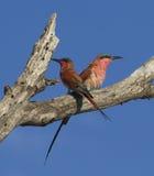Südlicher Karminbienenfresser erwachsener Nationalpark Kruger Lizenzfreie Stockbilder
