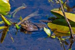 Südlicher Leopard-Frosch stockfotografie