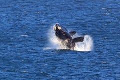 Südlicher rechter Wal lizenzfreie stockfotografie