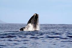 Südlicher rechter Wal, der 1/4 durchbricht Lizenzfreies Stockfoto