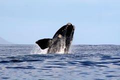 Südlicher rechter Wal, der 2/4 durchbricht Stockfotos