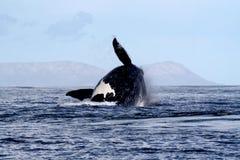 Südlicher rechter Wal, der 4/4 durchbricht Lizenzfreie Stockfotos