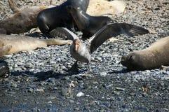 Südlicher riesiger Sturmvogel auf Pebble Beach mit Pelzdichtungen lizenzfreie stockfotos