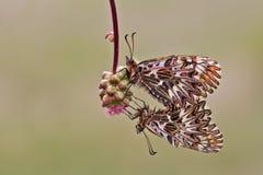 Südlicher Schmetterling der Girlande (Zerynthia-polyxena) Lizenzfreies Stockbild