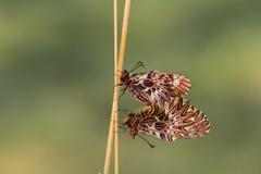 Südlicher Schmetterling der Girlande (Zerynthia-polyxena) Lizenzfreie Stockfotos