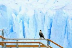 Südlicher Schopfkarakara-Vogel, der auf das Promenaden-Geländer mit Perito Moreno Glacier im Hintergrund, EL Calafate, Patagonia  lizenzfreies stockbild