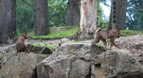 Südlicher Schwein-angebundener Makaken, Macaca nemestrina Stockbild