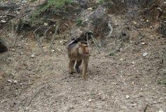 Südlicher Schwein-angebundener Makaken, Macaca nemestrina Lizenzfreie Stockfotografie