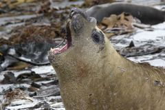 Südlicher Seeelefant (Mirounga leonina) Lizenzfreie Stockbilder