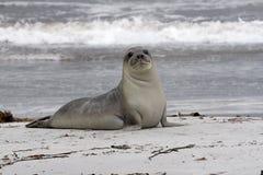 Südlicher Seeelefant (Mirounga leonina) Lizenzfreies Stockbild