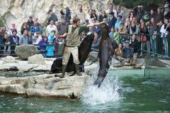 Südlicher Seelöwe, der hoch an der Fütterung springt Lizenzfreies Stockbild