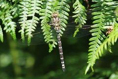Südlicher Straßenverkäufer Dragonfly (Aeshna-cyanea) Lizenzfreie Stockfotografie