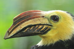 Südlicher tarictic Hornbill Sulawesis Stockfotografie