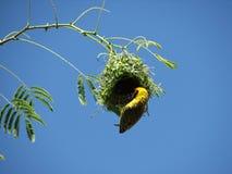 Südlicher verdeckter Weber, der an seinem Nest hängt lizenzfreies stockbild