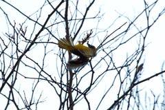 Südlicher verdeckter Weber in einem Baum lizenzfreie stockfotografie