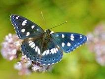 Südlicher weißer Admiral Butterfly Stockbild