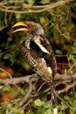 Südlicher Yellowbill-Hornbill Stockfotos