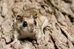 Südliches Flugwesen-Eichhörnchen lizenzfreie stockbilder