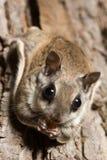 Südliches Flugwesen-Eichhörnchen lizenzfreies stockbild