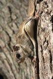 Südliches Flugwesen-Eichhörnchen lizenzfreie stockfotografie