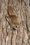 Südliches Flugwesen-Eichhörnchen stockfotografie