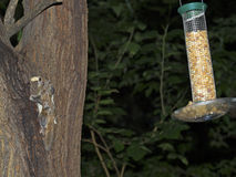 Südliches Flugwesen-Eichhörnchen lizenzfreie stockfotos
