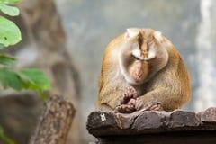 Südliches Schwein angebundener Makaken Lizenzfreies Stockbild
