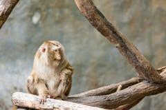 Südliches Schwein angebundener Makaken Lizenzfreies Stockfoto