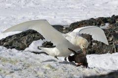 Südliches Weiß des riesigen Sturmvogels verwandelt, wem Pinguinküken isst Stockfoto